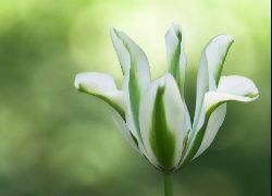 Tulipan, Biało, Zielony, Tło, Rozmyte