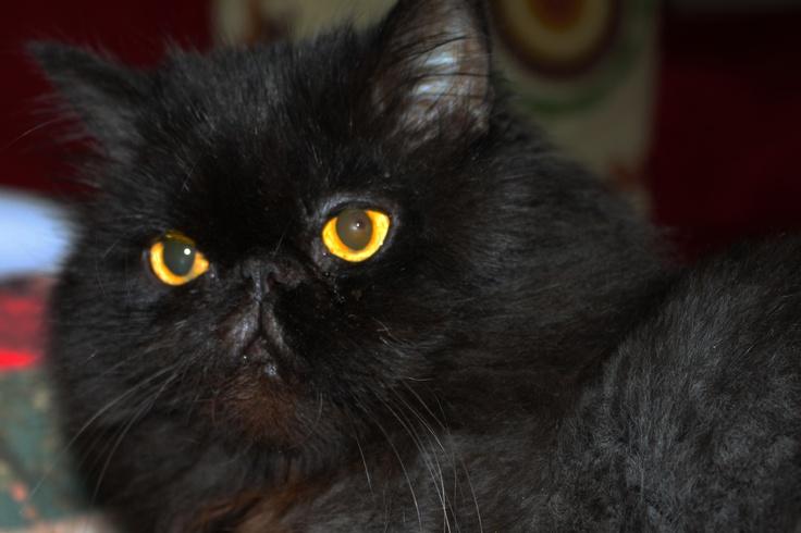 Bruno the persian cat