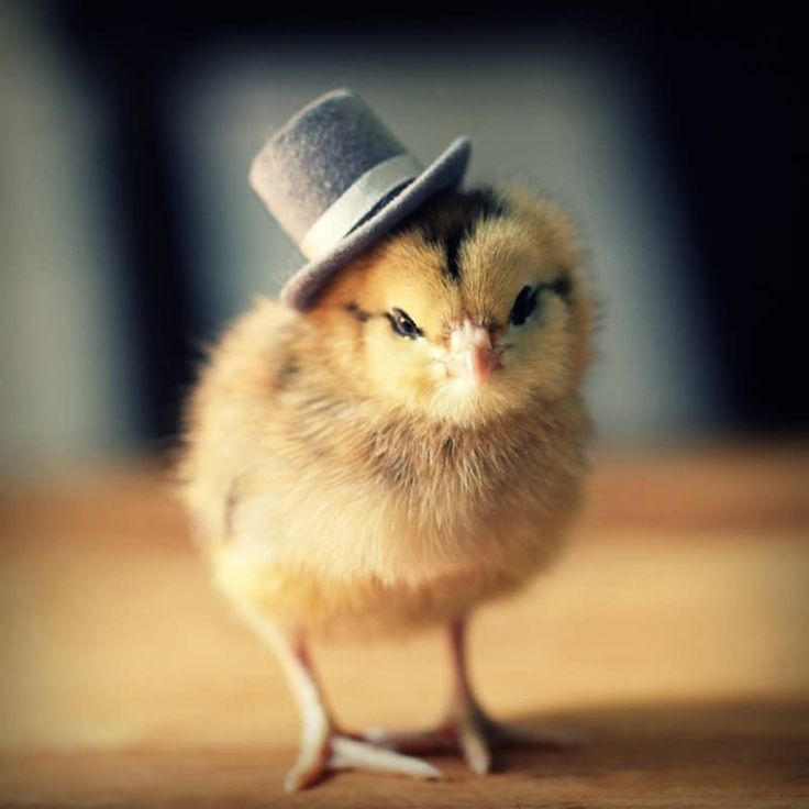 Teeny baby chicks wearing dapper hats will make your day