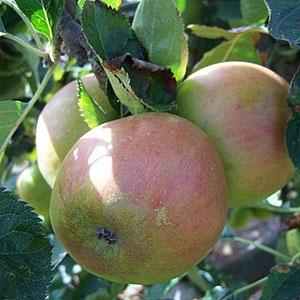 Apple Tree - Claygate Pearmain