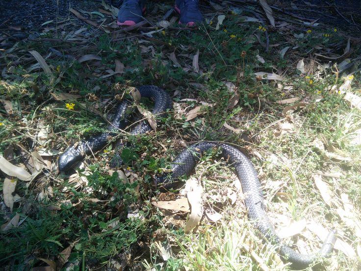 Tasmanian Tiger Snake