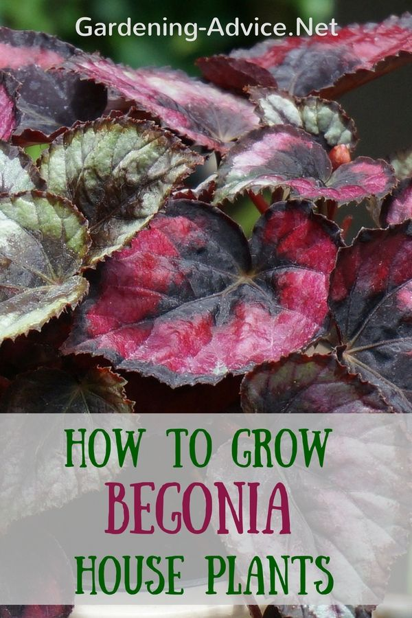 The Angel Wing Begonia has attractive colorful foliage and is also a flowering house  plant. Learn how to care for begonia plants and begonia propagation.