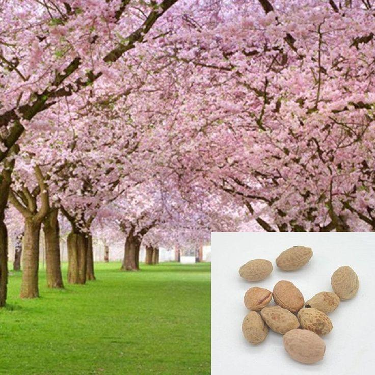 Pink Cherry Blossoms Tree Seeds Sakura 10 20 50 100 Packs Same Etsy In 2021 Tree Seeds Bonsai Plants Blossom Trees