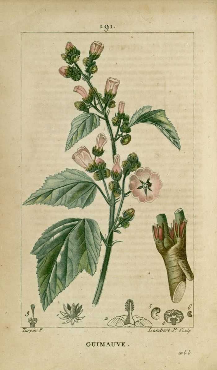 Img dessins gravures de plantes medicinales for Catalogue de plantes