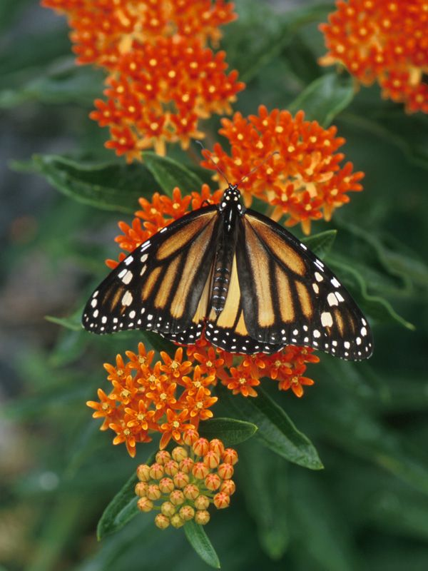 Asclepias tuberosa or Butterfly Weed - a favorite Long Island native wildflower. Loves a dry sandy sunny spot!