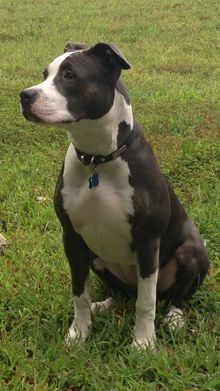 American Pit Bull Terrier - Wikipedia, the free encyclopedia