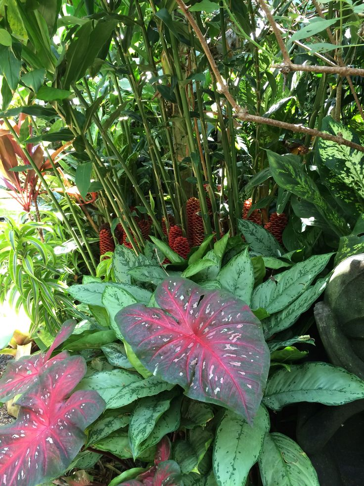 Tropical Garden,Beehive ginger,Caladiums
