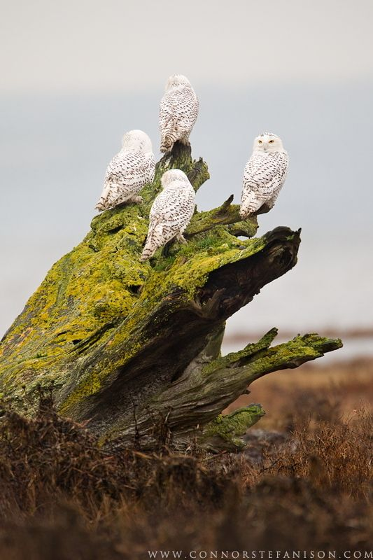 A group of Snowy Owls perch on the foreshore of Boundary Bay, BC. Canada, by Connor Stefanison