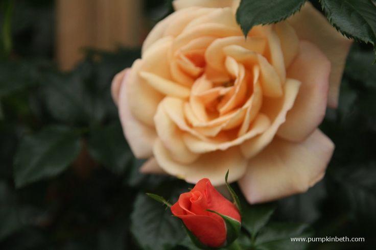 Rosa 'Susie'