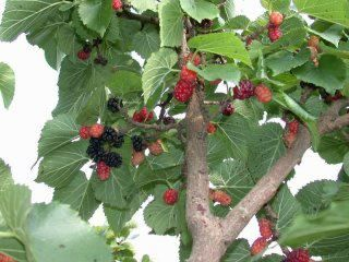 Mulberry Tree most back yards would have one of these trees. The fruit could stain big time. Silk worms main source of food