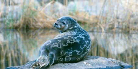 The Saimaa ringed seal (Pusa hispida saimensis) is currently under imminent threat of extinction with only 300 of them left. This world's most endangered seal can only be found in Lake Saimaa in Finland.