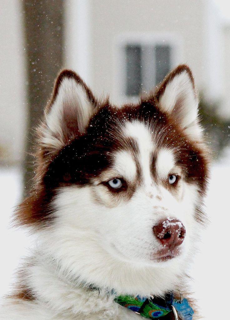 Siberian Husky - beautiful