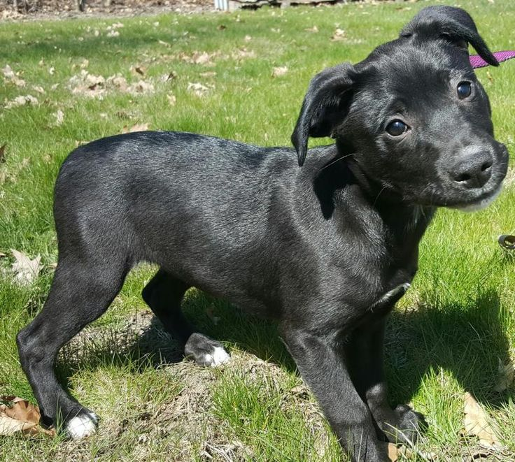 Rottweiler puppies rescue michigan