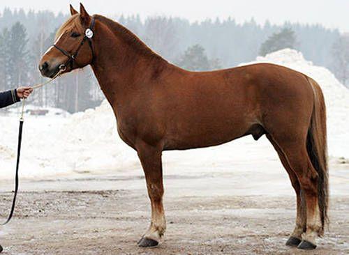 Finnhorse. Photo: Johanna Rautio