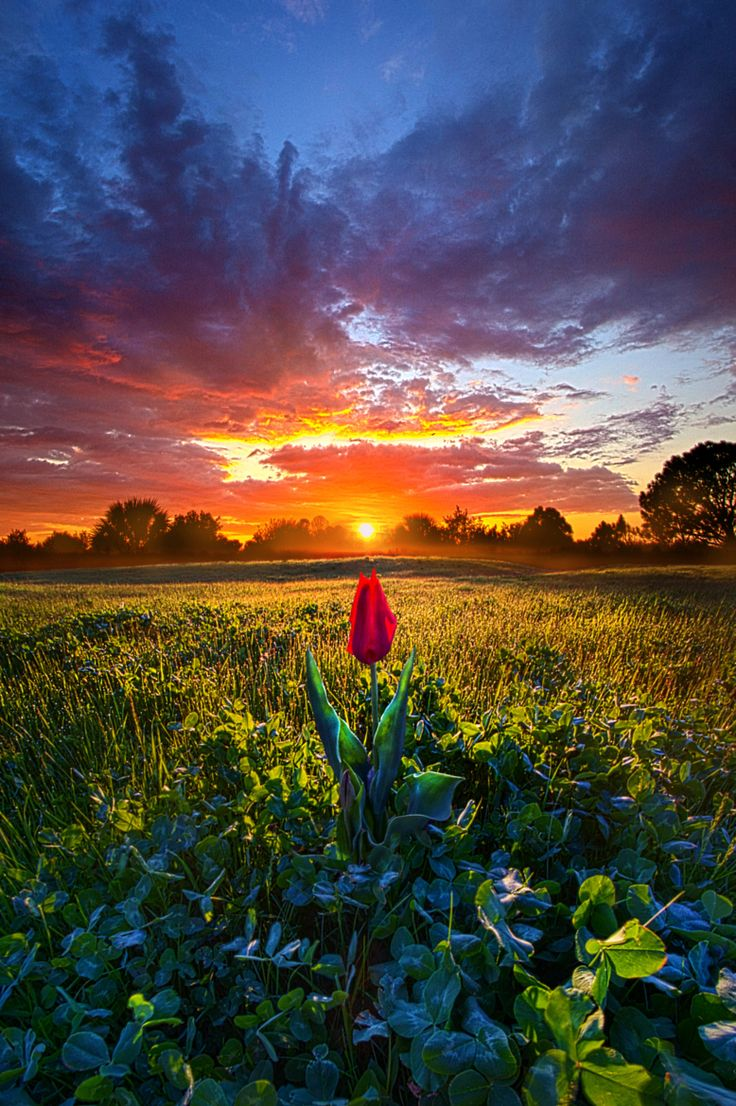 ~~For Your Love | sunset Tulip meadow, Pleasant Prairie, Wisconsin | by Phil Koch~~