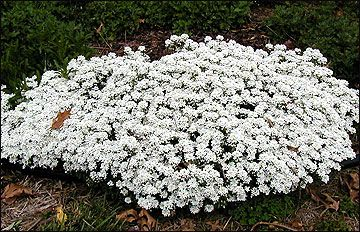 Candytuft is an excellent ground cover for the border of a perennial garden in full sun. Growing about 12 inches tall, it has small, dark gr...