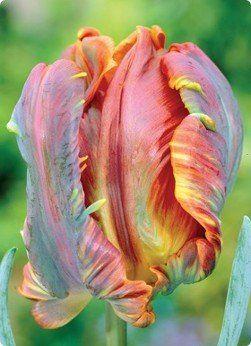 Tulip, Blumex Parrot Seeds - Treasuresbylee - 50