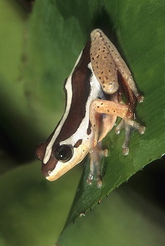 Reed Frog, Africa  Gail Melville Shumway Photography ☆