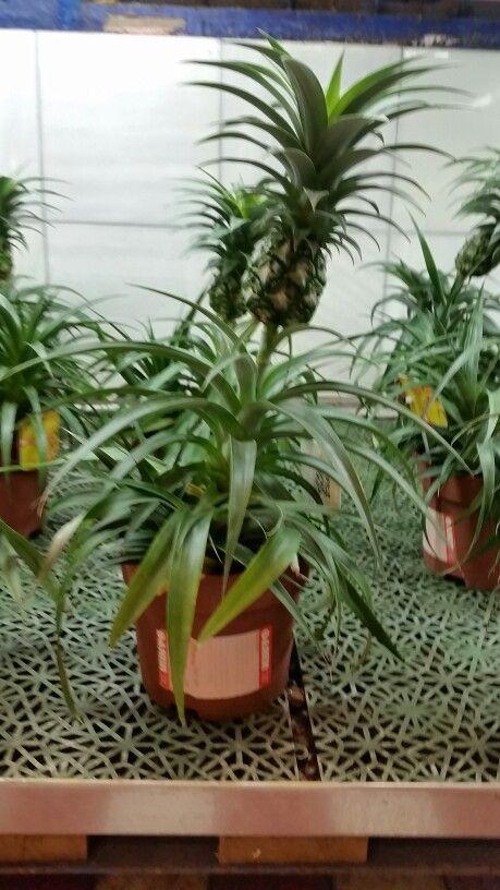 Ananas - Oasen