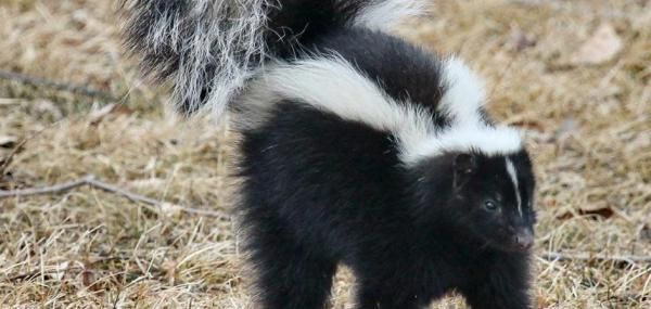 Man burns down his house trying to get rid of skunks