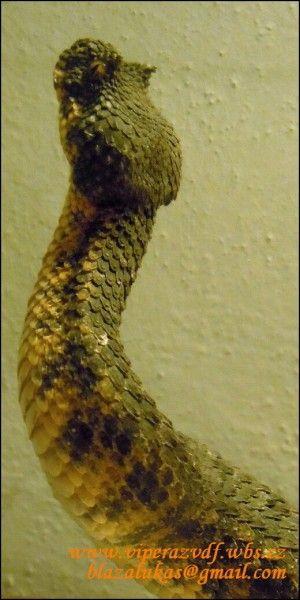 Pseudocerastes persicus fieldi ze Sýrie z Lava desert.