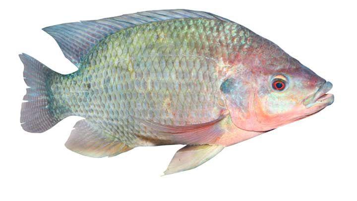 Después de leer esto no volverás a consumir tilapia de la misma manera que antes, así que antes de que sea muy tarde debes parar de comer este pez tan barato y popular que solo puede conducir a graves problemas de salud.