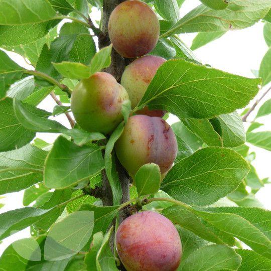 11 Best Filipendula (Meadow Sweet) Images On Pinterest