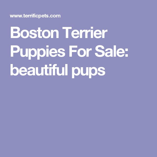 Boston Terrier Puppies For Sale: beautiful pups