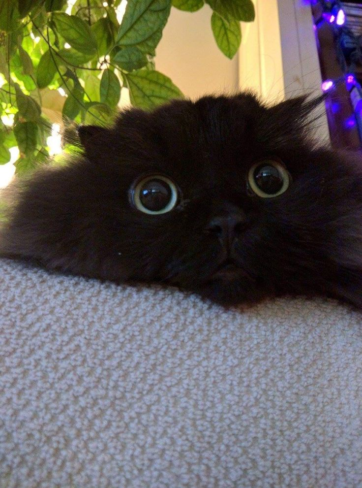 Black cat with big eyes! (With images) Fluffy black cat
