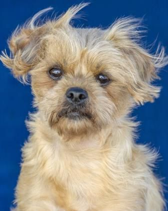Adopt Fidget, a lovely 3y 9m Shih Tzu / Terrier, Yorkshire available for adoption at Petango.com.