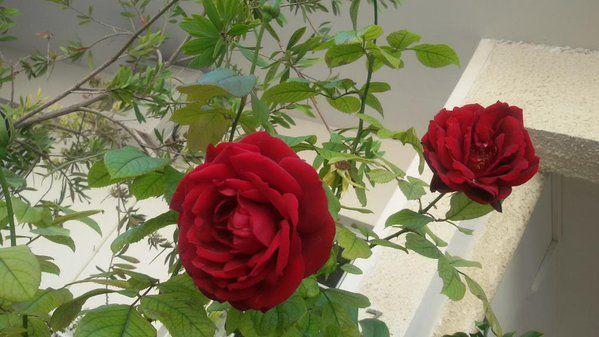 Τα όμορφα τριαντάφυλλα για σένα εγγονή μου όμορφη-γλυκιά, από τον κήπο της γιαγιάς με πολύ Αγάπη! Να έχεις καλή ζωή!