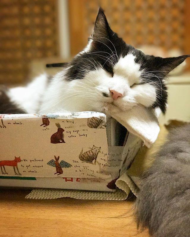かわいいから連写するよね〜! するよね〜! 💤 💤 .. ... . #猫好きさんと繋がりたい #ねこ #instagramcat #にゃんだふるらいふ #ニャンスタグラム #家猫 #cats #nebelung  #こしあんブルー #猫との暮らし #猫が好き #やっぱり猫が好き #ふわもこ部 #ねこもふ団 #ねこすたぐらむ #愛猫 #グレー猫男子部 #ねこちゃん #グレー猫部 #タボさん #ハチワレ #タボみく#みんねこ