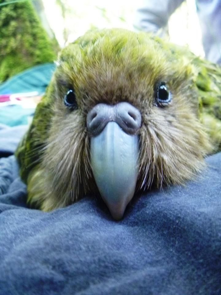 """Kuia, the most precious female kakapo of all, carries the precious Fiordland genes of her father Richard Henry"" via Kakapo Advocacy"