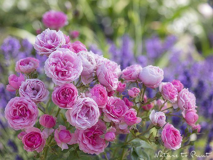 Die besten 25 rosengarten ideen auf pinterest wachsende - Gartengestaltung rosengarten ...