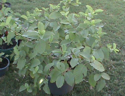 Kratom Plants - Mitragyna Speciosa  Kratom Plant Kratom Plant http://ctplr.tumblr.com/post/143294826250