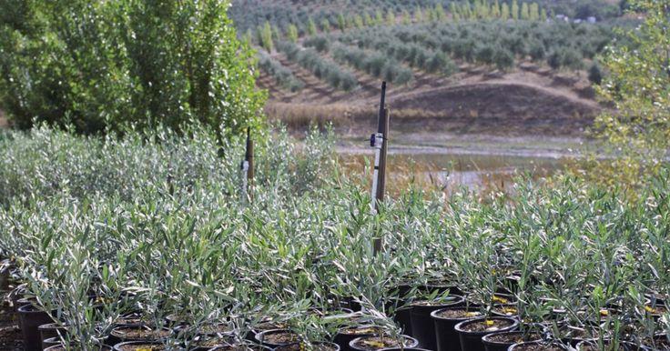 Cómo hacer una poda artística de un olivo. Los olivos son árboles nativos del Mediterráneo, Asia y algunas partes de África. Han sido cultivados por siglos y se logran bien en contenedores. Para mejores resultados de topiaria, deberán seleccionarse especies más bien pequeñas como Picholine, Manzanillo, Frantoio ó Arbequina. Estos árboles pueden soportar la poda severa y el ser mantenidos ...