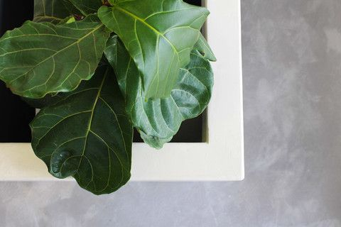 Polished Concrete Planterbox hand crafted in Microcement finished in Ivory. The perfect home for our Fiddle Leaf Fig.  #interior design #renovations #diy #fiddle leaf fig #polished concrete #cement #home decor #polished concrete furniture