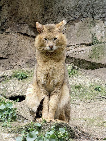 Le Chaus, chat des marais