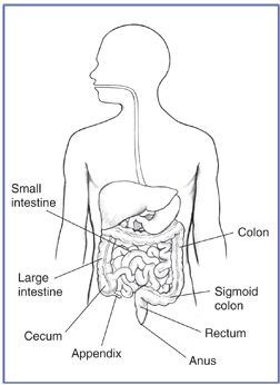 Drawing of the GI tract, with the small intestine, large intestine, colon, sigmoid colon, cecum, appendix, rectum, and anus labeled.