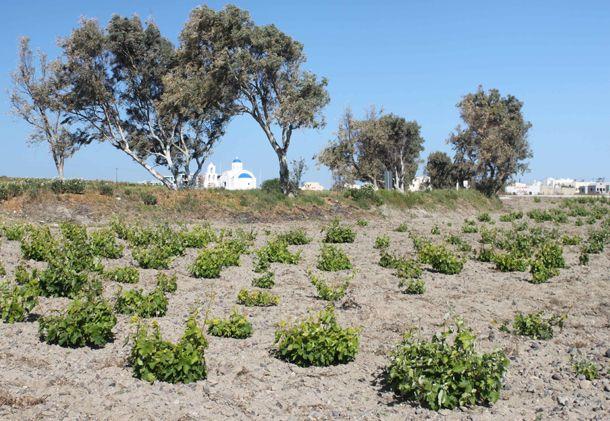 Die Assyrtiko-Santorini - Weine sind selten und unverwechselbar. Diese Weine werden aus der autochthonen Assyrtiko-Rebsorte gewonnen, die auf der Vulkaninsel Santorin - wo alles außergewöhnlich ist!