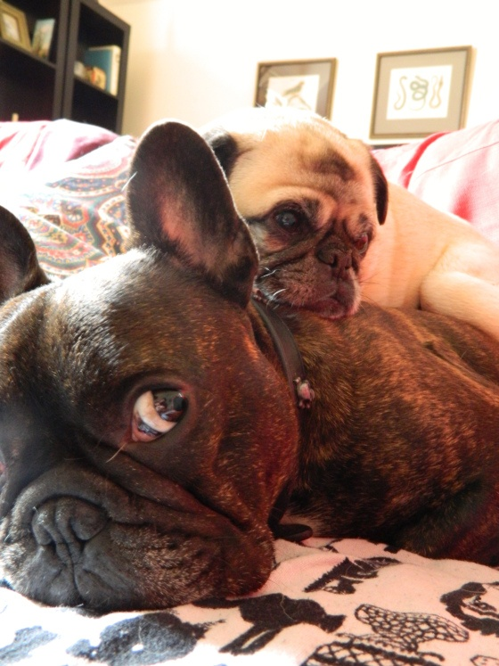 Startin' to get a crick in ma neck...  (Margot the Pug and Russell the French Bulldog)