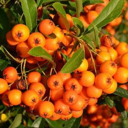 Unique Garden Addition: Hippophae Rhamnoides Can Replace Oranges In Your Diet