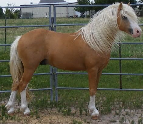 Welsh Mountain Pony (section A) stallion The Promise S. Dollar Heulagan