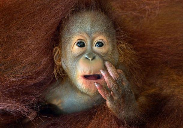 Милый малыш орангутанга. Орангутанги имеют тонкие, лохматые, красновато-коричневые волосы. У них длинные, мощные руки и сильные нижние конечности, которые они могут использовать в том числе и для того, чтобы пользоваться инструментами. Фото: Чин Бун Ленга.