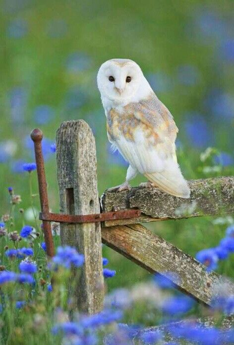 Owl in bluebells