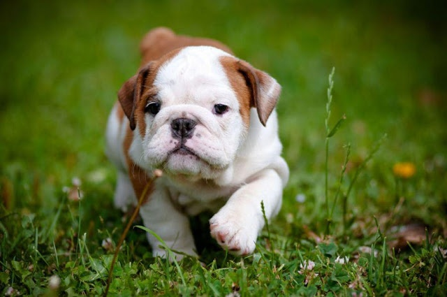 Red and white baby english bulldog image- follow for more awwww