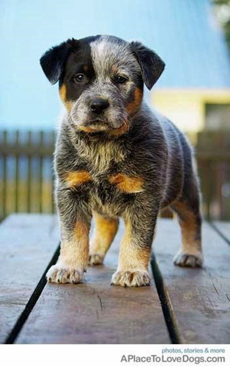 Northeast ohio blue heeler dogs puppies for sale ebay180 - Ozzy Is An Australian Cattle Dog Aka Blue Heeler Puppy