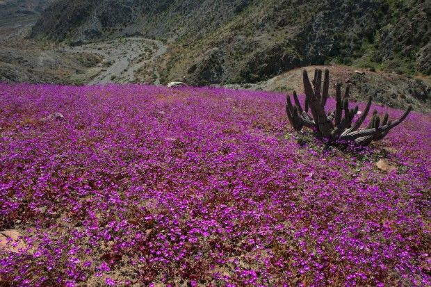 """Atacama, Chile, the """"miracle"""" of flowers in the desert"""
