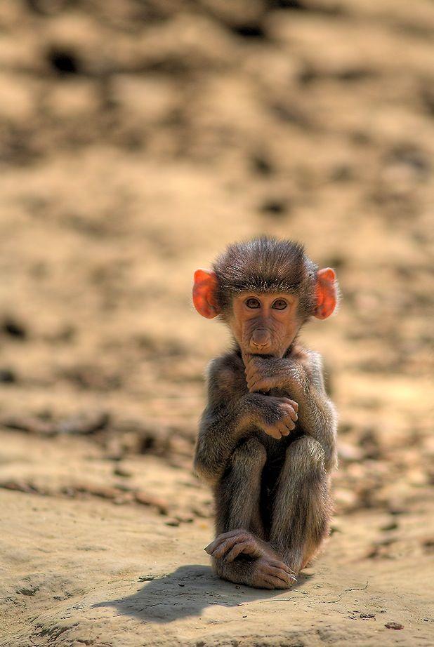 Baby Desert Monkey