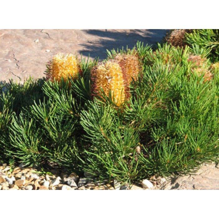 Banksia 'Birthday Candles' - PB6.5 (20/30)